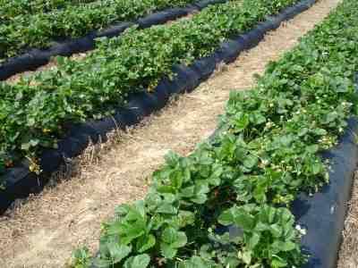 fóliaágyas termesztés