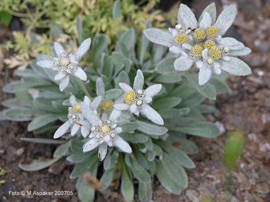 leontopodium alpinum extract