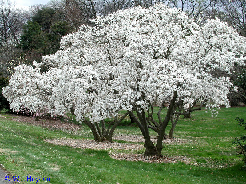 plant id by me magnolia stellata 39 royal star 39 star magnolia. Black Bedroom Furniture Sets. Home Design Ideas