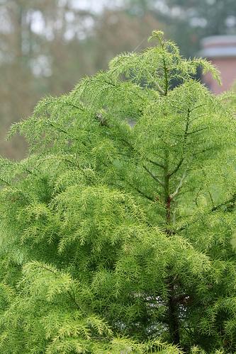 Fiatalkori zöld formája cryptomeria japonica elegans viridis