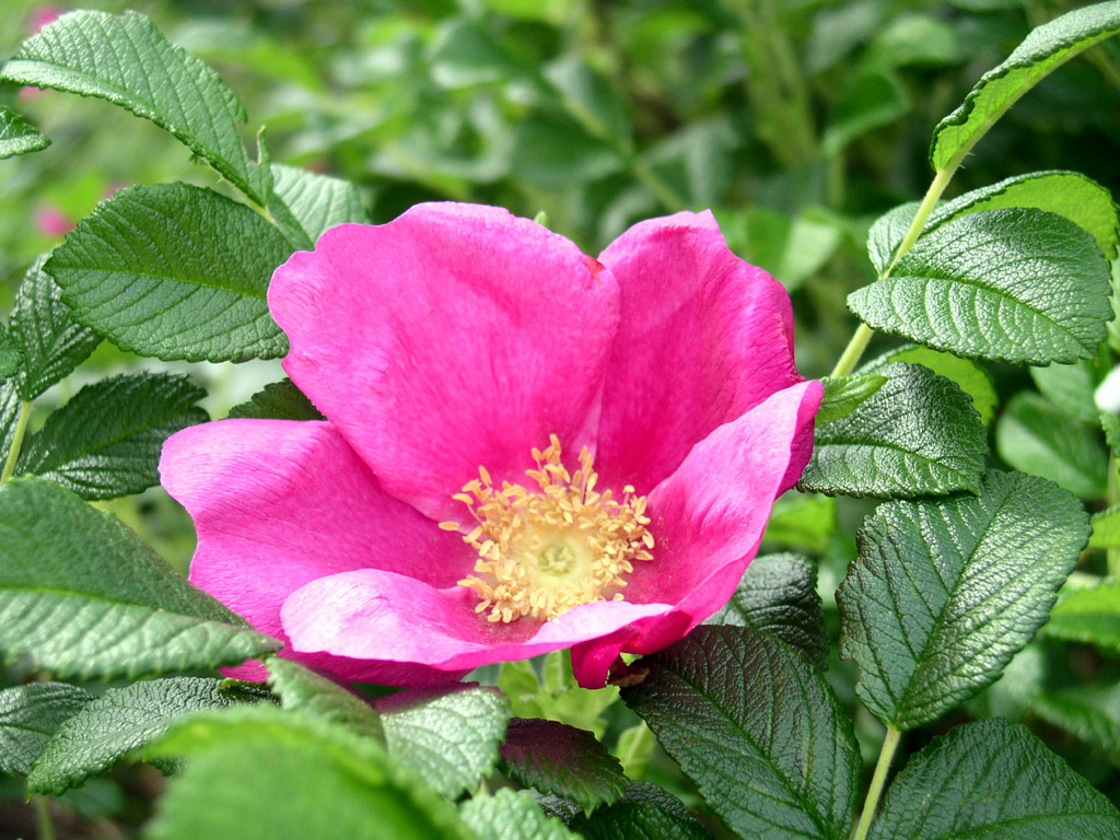 http://www.kolibrikerteszet.hu/files/Kepek/rosa/Rosa%20Rugosa.jpg