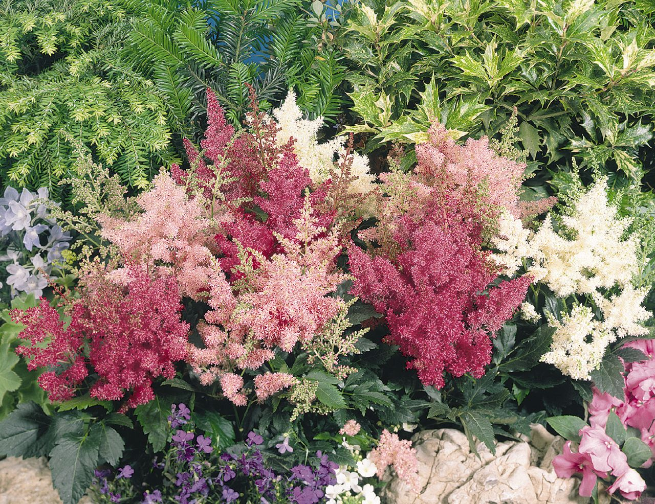 astilbe x arendsii astary mix