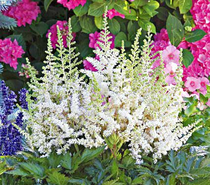astilbe chinensis vision in white