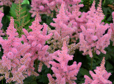 astilbe chinensis little vision in pink