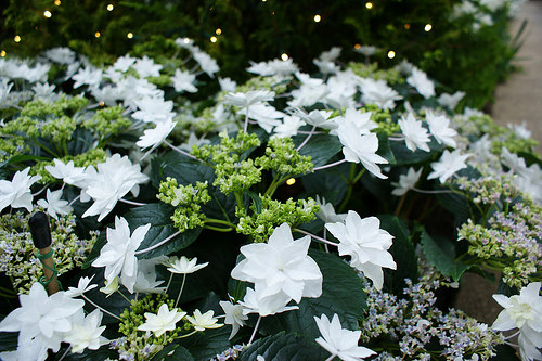 hydrangea macrophylla clarissa