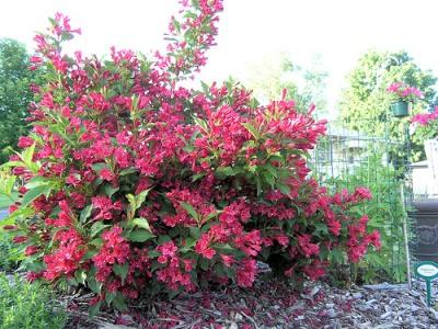 Kolibri kert szet pomp s r zsalonc for Cespugli fioriti per giardino