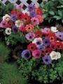 Hagymások - tavasszal virágzók