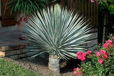 Kolibri kert szet cs r s yukka yucca rostrata for Yuka exterieur
