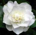 Kamélia (Camelia japonica White Perfection)