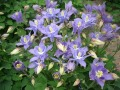 Aquilegia vulgaris Winky Early Sky Blue (Harangláb)