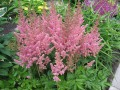 Kínai tollbuga (Astilbe chinensis Vision in Pink)