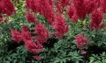 Astilbe chinensis Vision in Red (Kínai tollbuga)
