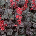 Heuchera Hollywood (Tűzeső)