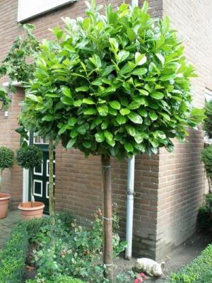 kolibri kert szet magas t rzsre oltott bab r. Black Bedroom Furniture Sets. Home Design Ideas