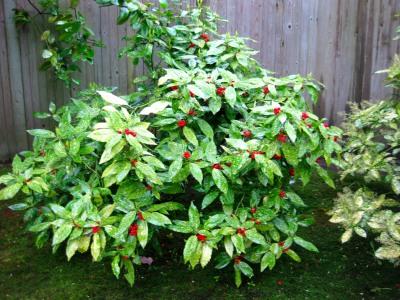 Kolibri kert szet tarka level jap n bab rsom for Cespugli fioriti da giardino