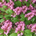 Deutzia magnifica Tourbillon Rouge