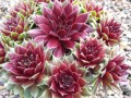 Kövirózsa (Sempervivum Red Blush)