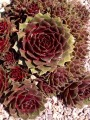 Kövirózsa (Sempervivum Red Rubin)